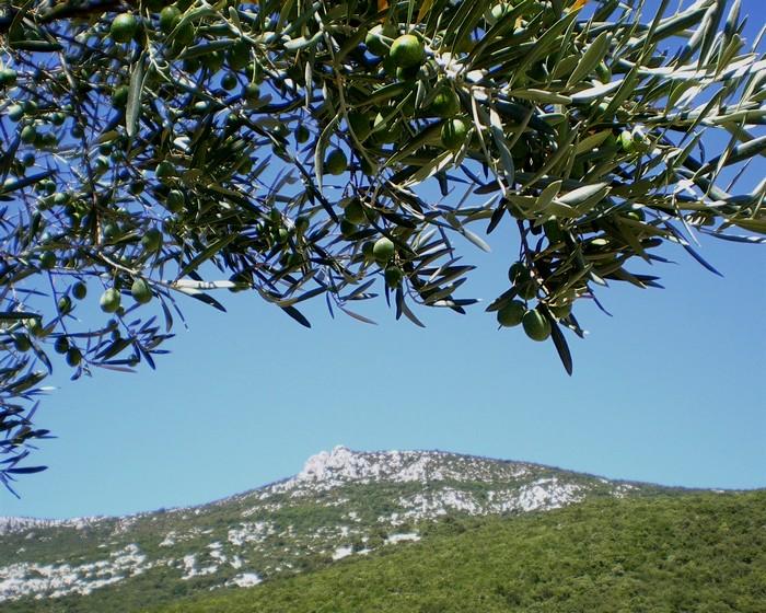 Olives of Languedoc © Photothèque Hérault Tourisme - Eric Brendle