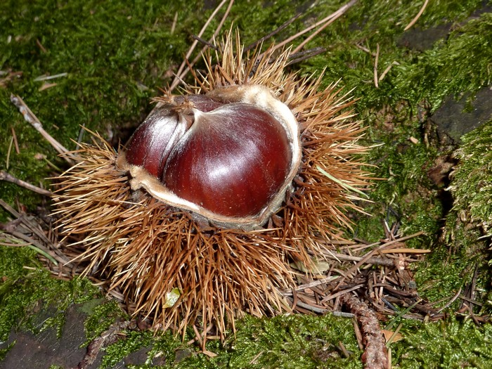 Chestnuts of Languedoc © Photothèque Hérault Tourisme - M. Sanz